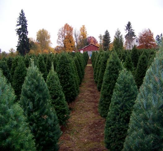 Christmas U-Cut: Choose your own tree among thousands of quality Douglas,  Grand & Noble Fir. Friendly help will shake & bale your tree. - Christmas Trees / Clark County / Vancouver, WA / Ridgefield, WA